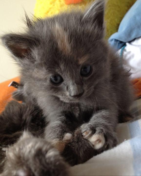 El Gato Nebelung Razas de gatos Animales de la granja ...