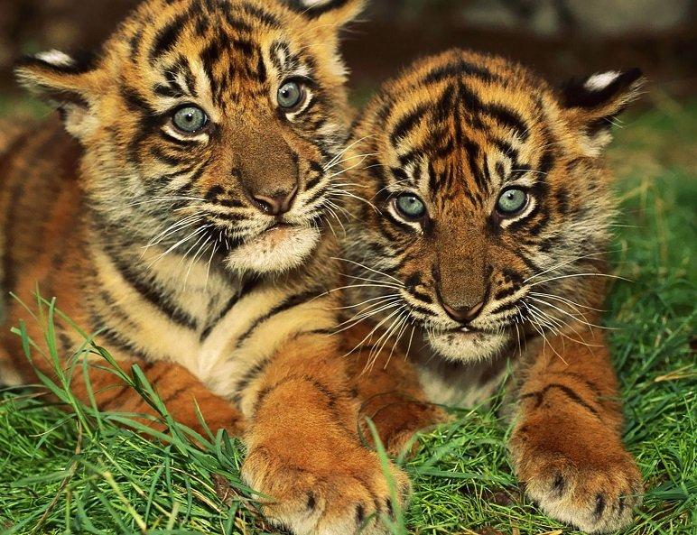 Tigres de bengala. MundoGatos.com