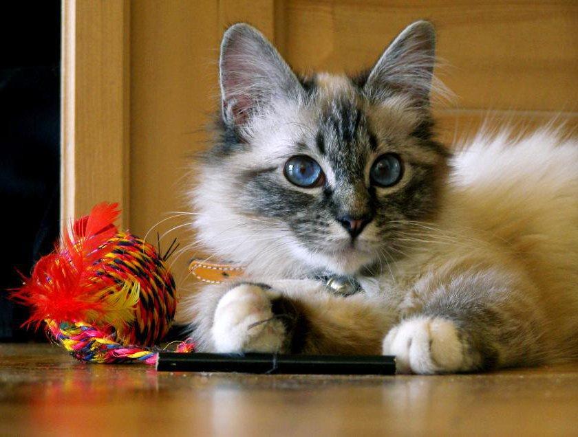 El carácter de los gatos domésticos. MundoGatos.com
