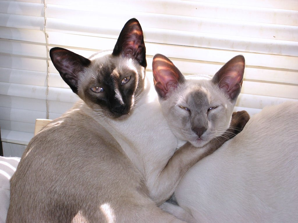 Colores del pelaje de los gatos. MundoGatos.com