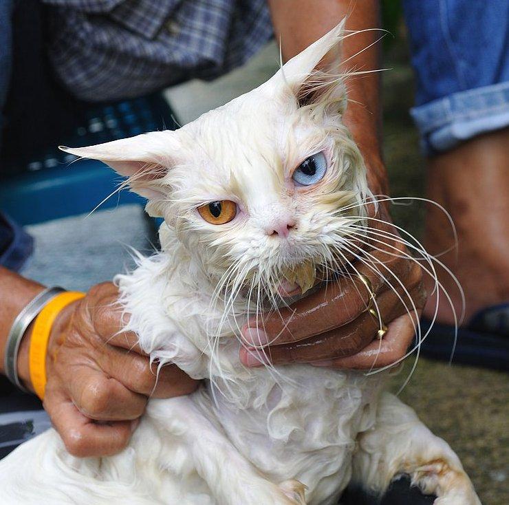 consejos para bañar al gato. mundogatos