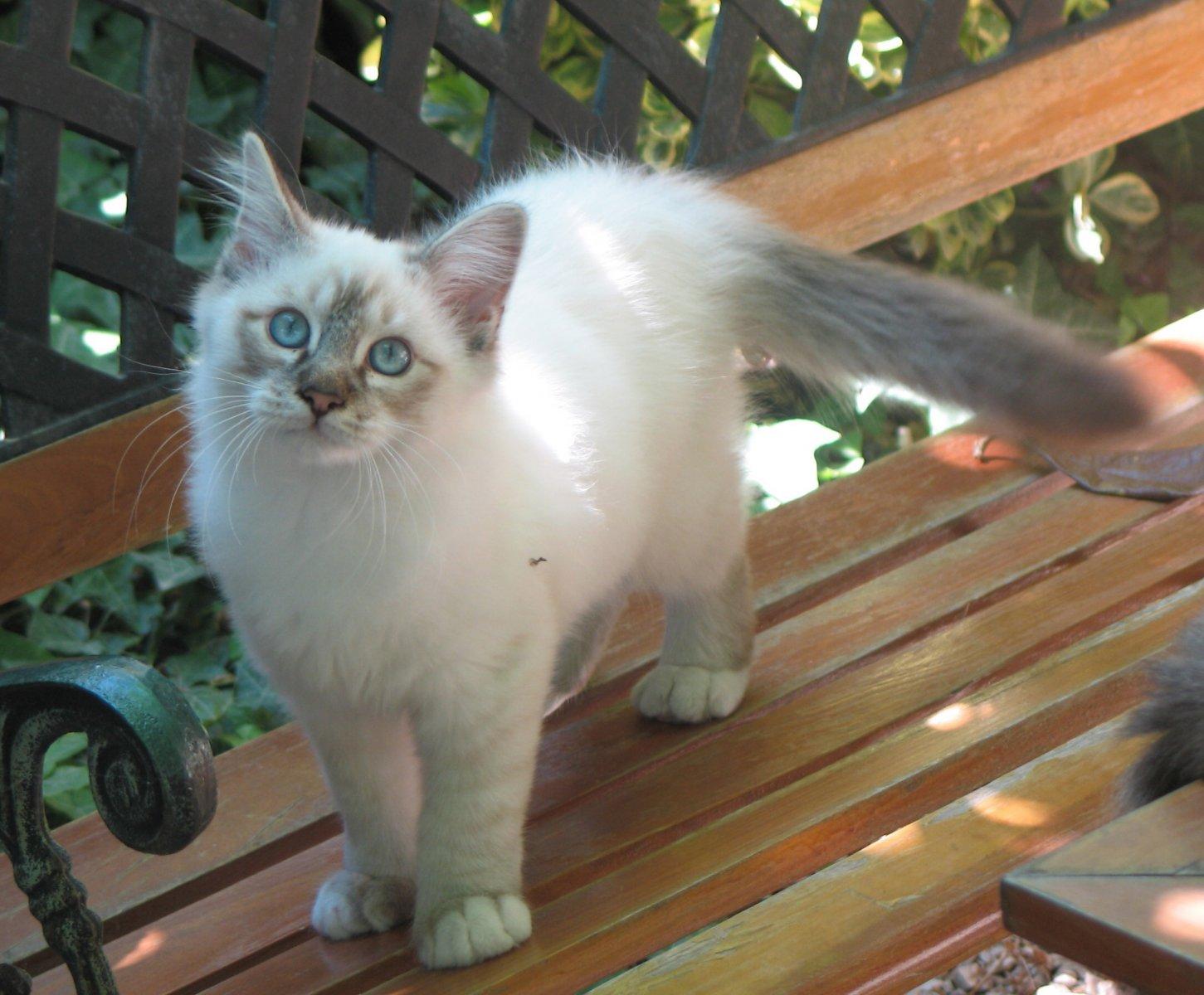 Cuidados y atenciones de los gatos siameses