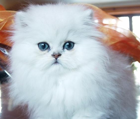 Venda de Gatos & Venda de Gatinhos - Animais de estimação