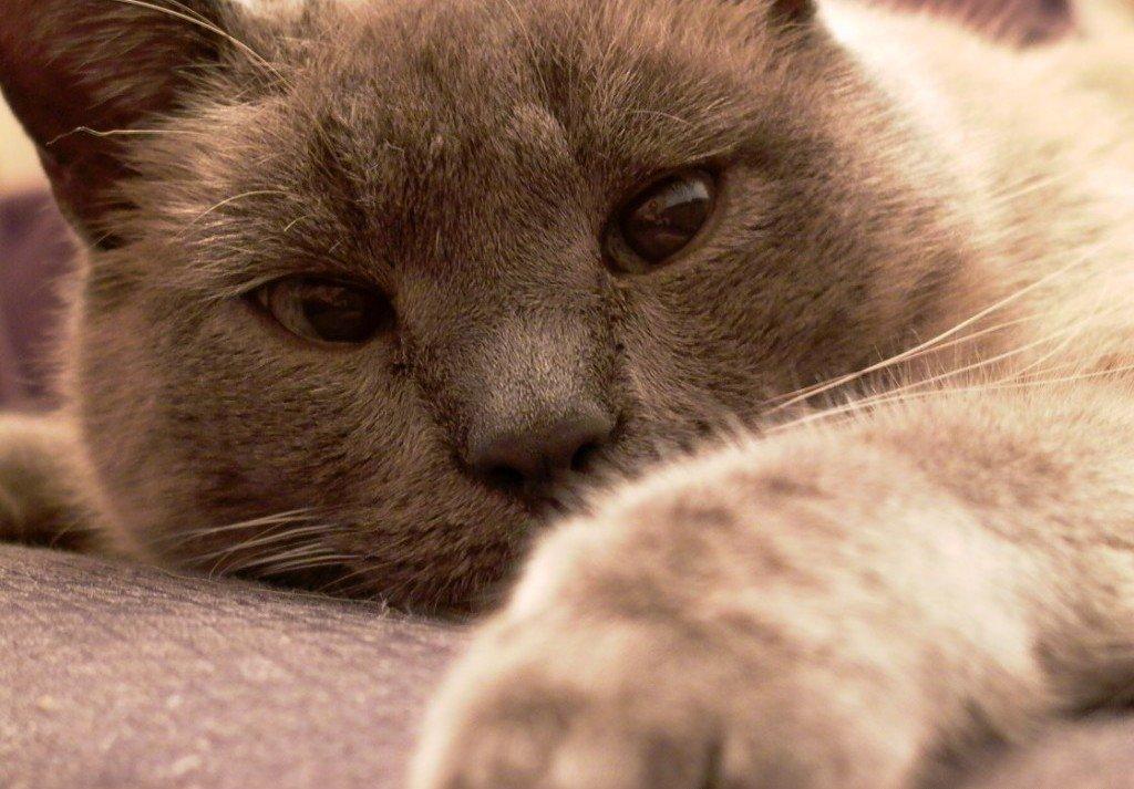 Desungulación en gatos. MundoGatos.com