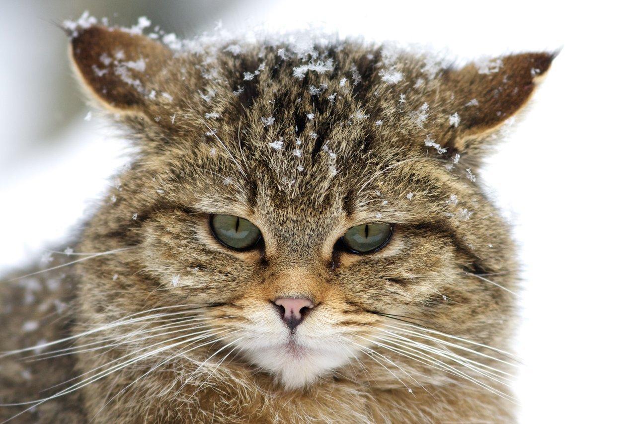 Savannah Wild Cat