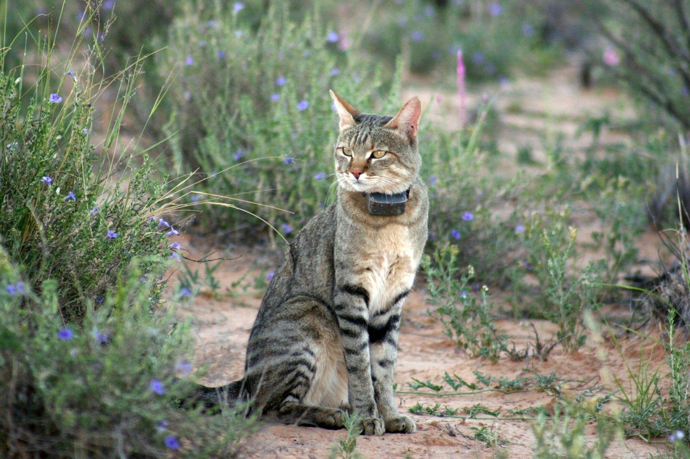 El Gato Montés. MundoGatos.com