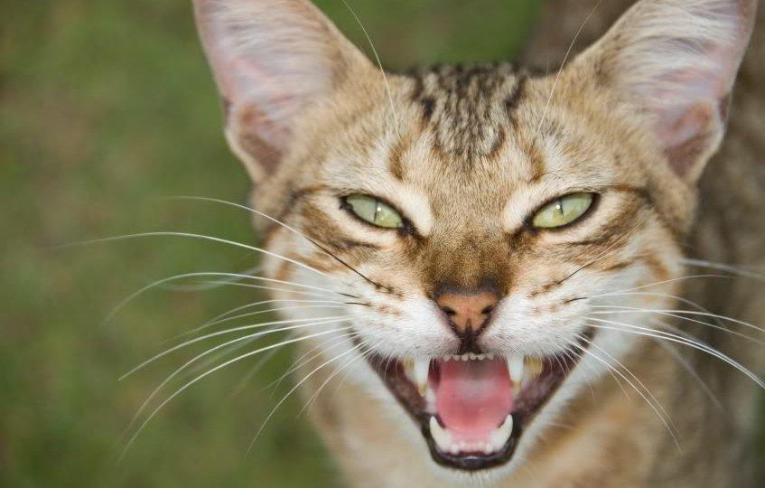 Enfermedades dentales más comunes en gatos. MundoGatos.com