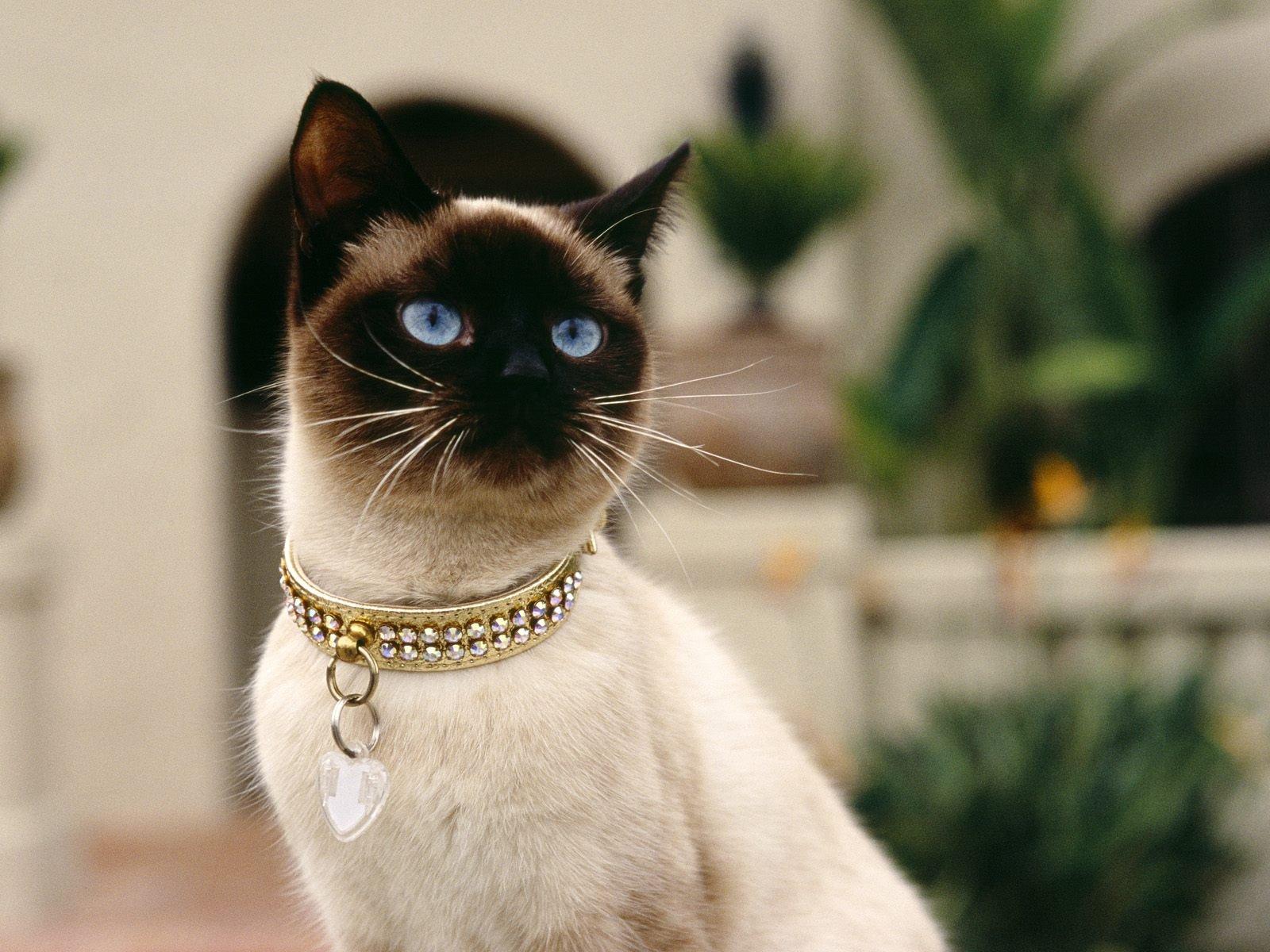 Estándar de los gatos siameses