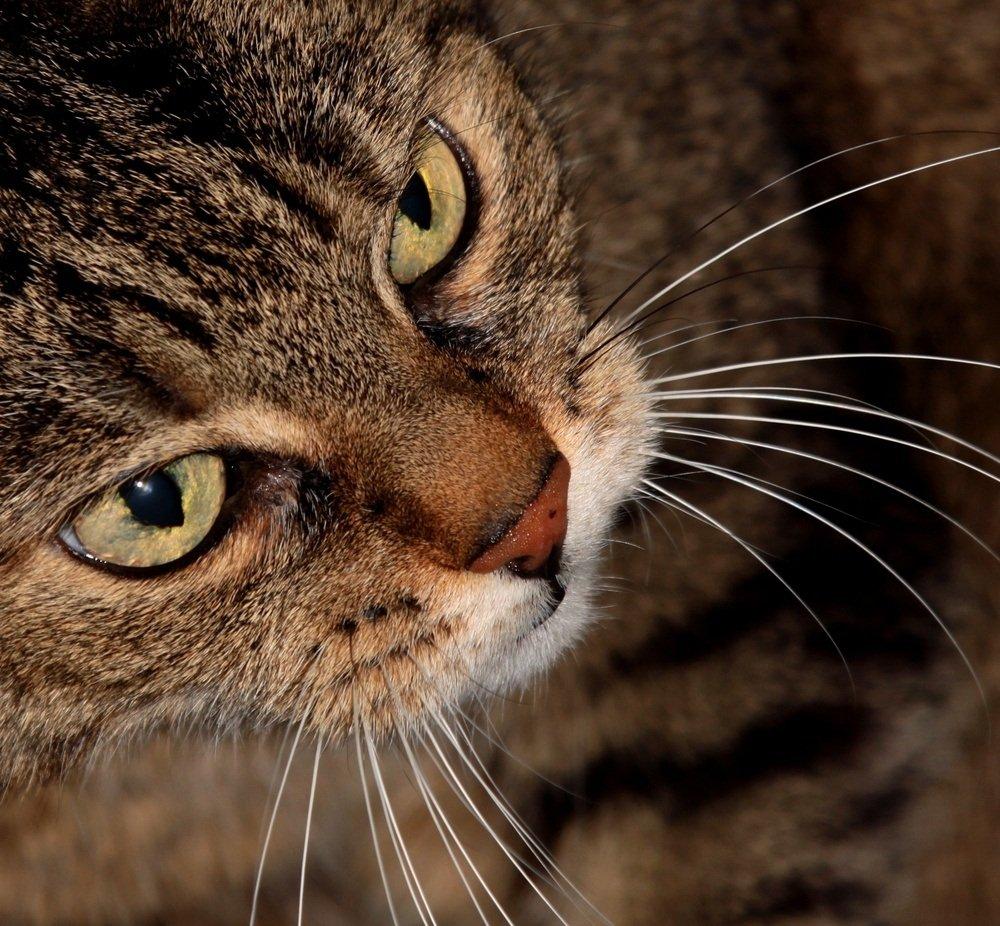 Feromonas felinas. MundoGatos.com