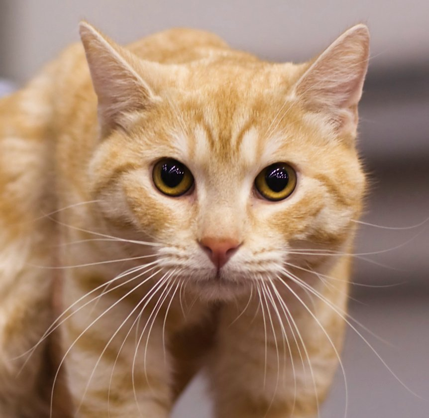 Ginger White Cat For Sale