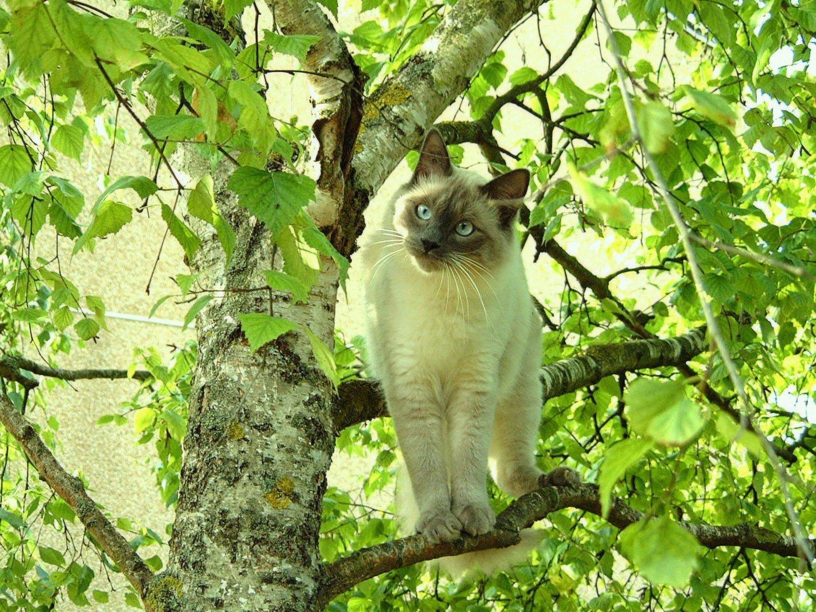 Gatos Siameses. MundoGatos.com