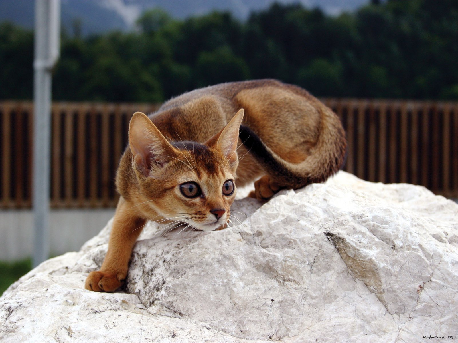 Картинки абиссинская кошка 8
