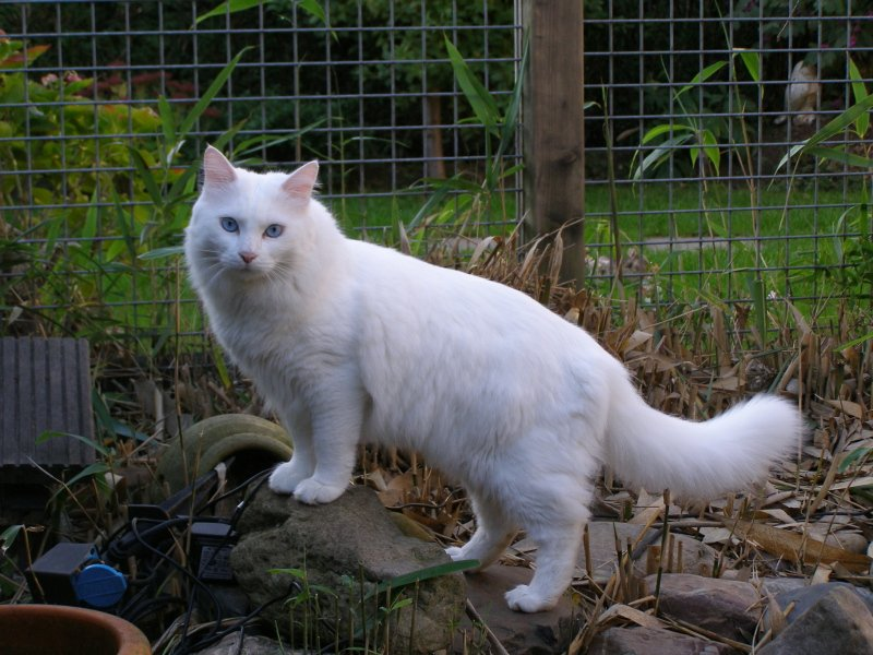Resultado de imagen para gato angora