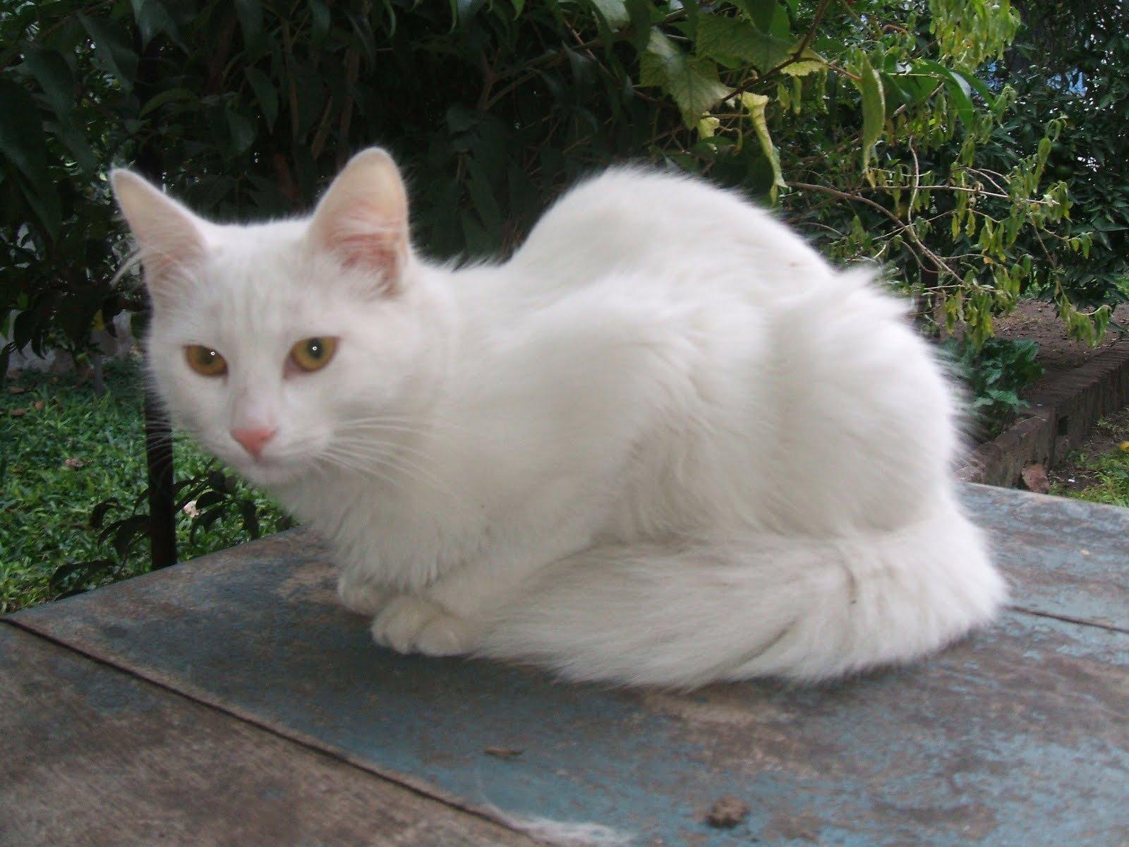 Gatos Angora Turco. MundoGatos.
