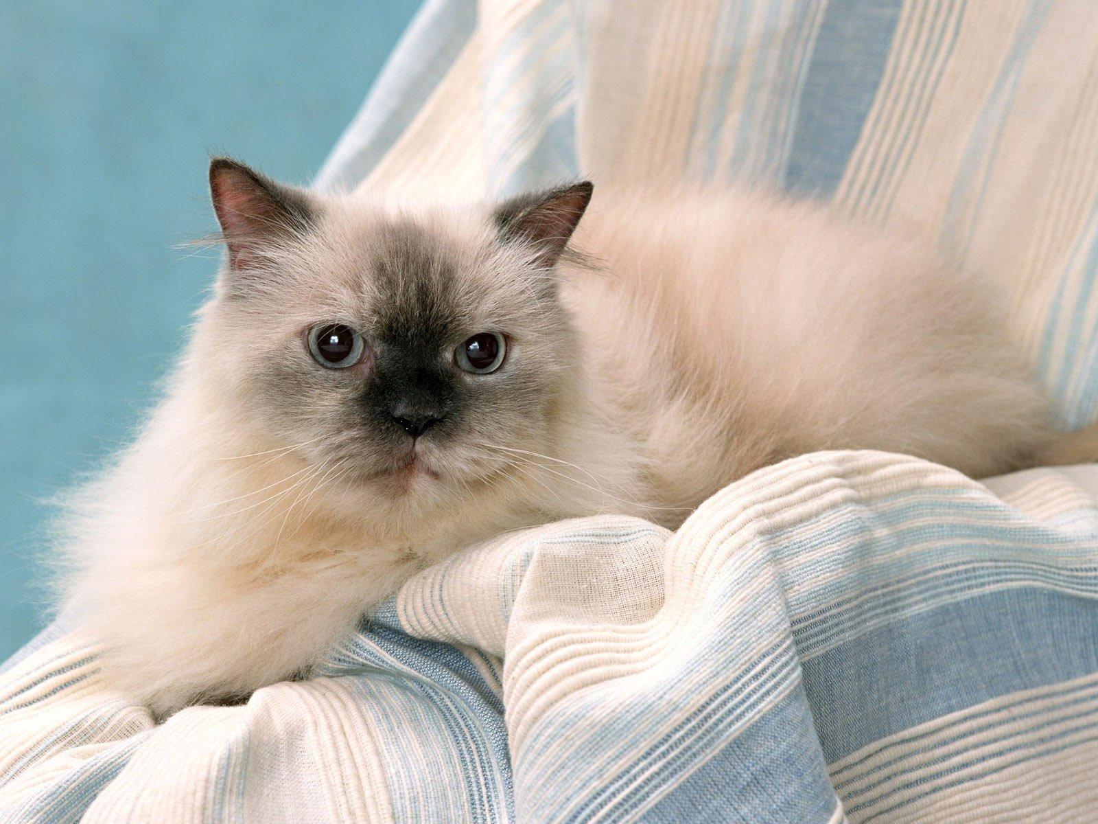 Gatos himalayos - Fundas para unas de gato ...