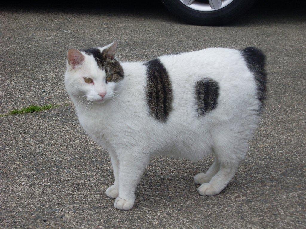 Gatos Manx. MundoGatos.com