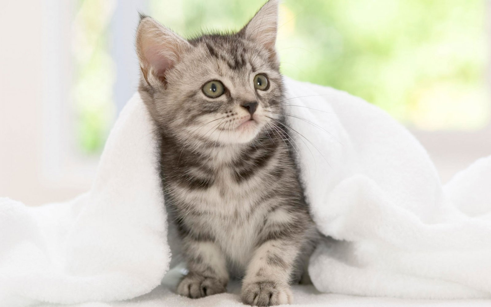 Hd Pictures Of Cute Animals: Gato American Wirehair. MundoGatos.com