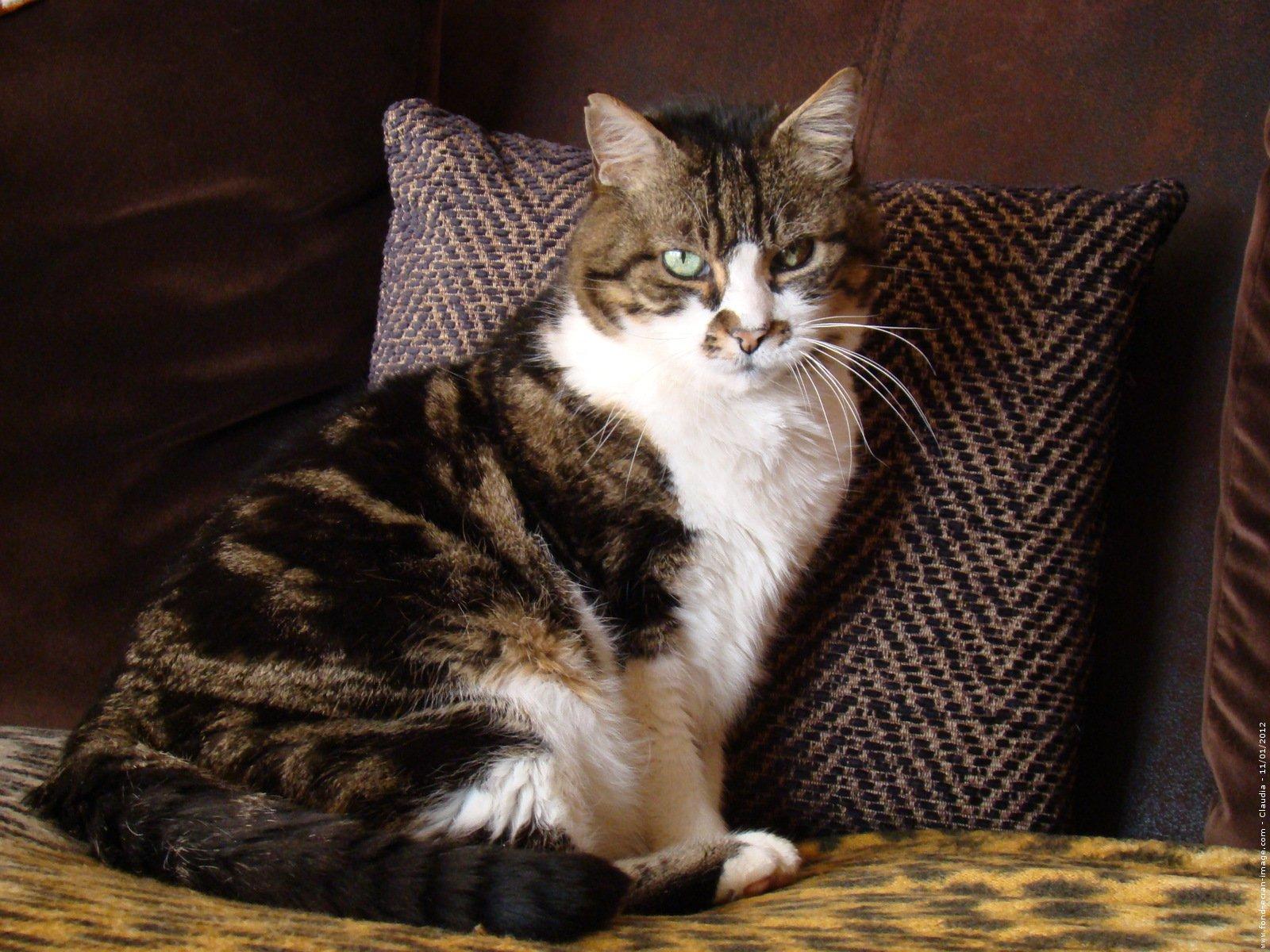 gato-comun-europeo.jpg