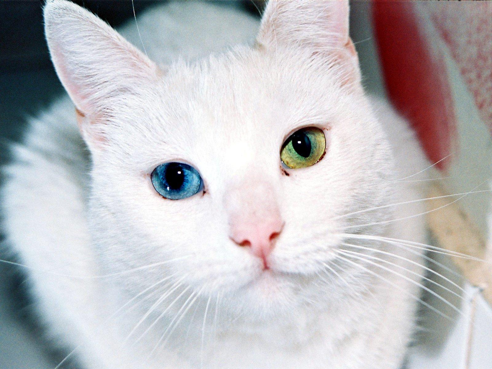 Gatos Ojos de Diamante El gato Khao Manee