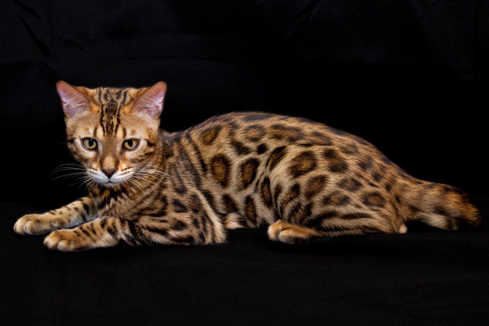 Galeria de gatos Toyger. Gato Toyger