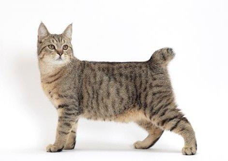 Gatos Bobtail americanos. MundoGatos.com