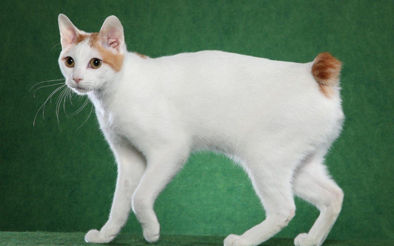 Gatos Bobtail Japonés. MundoGatos.com