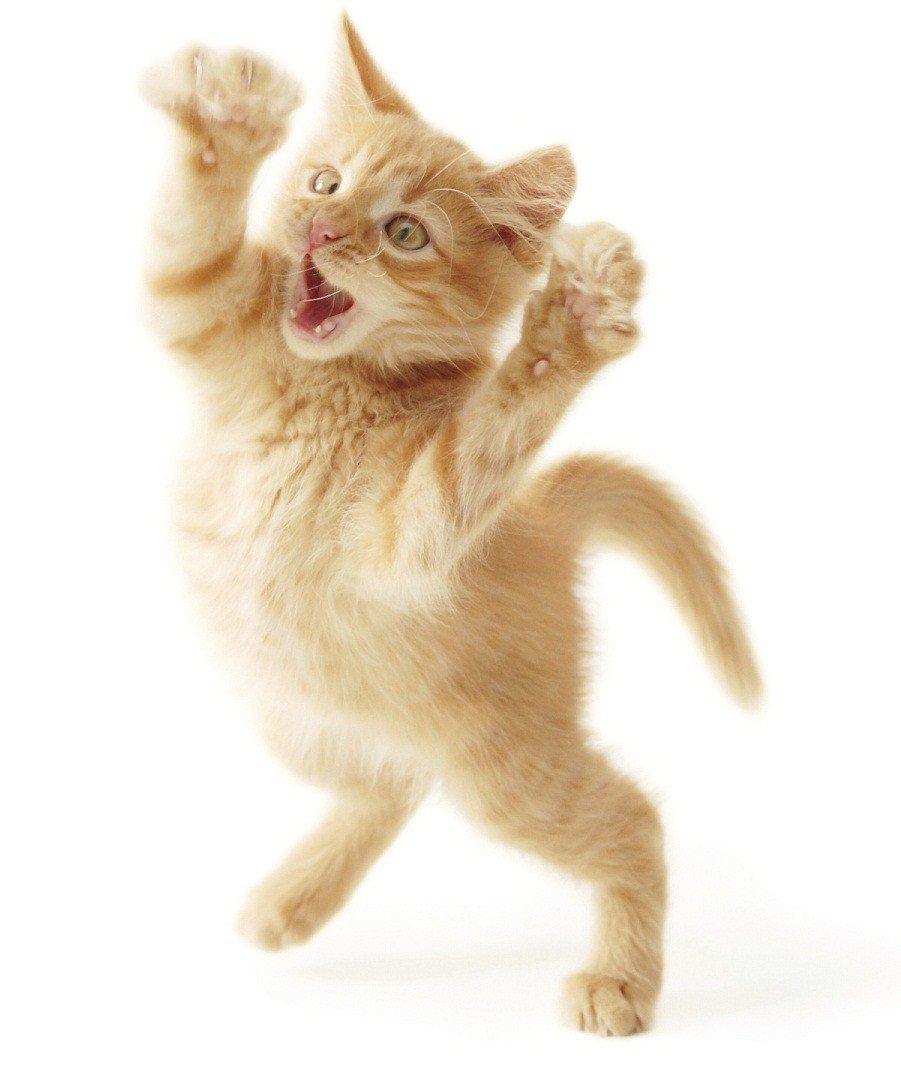 Gatos locos: comportamientos extraños de nuestros gatos ...