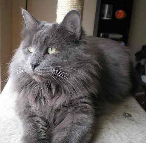 Gato azul ruso pelo largo