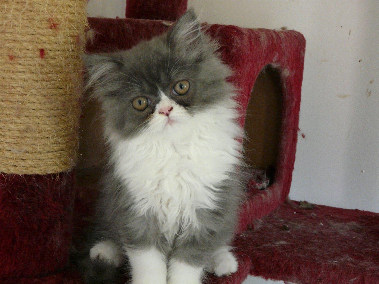 Gatos persas Gatos persas