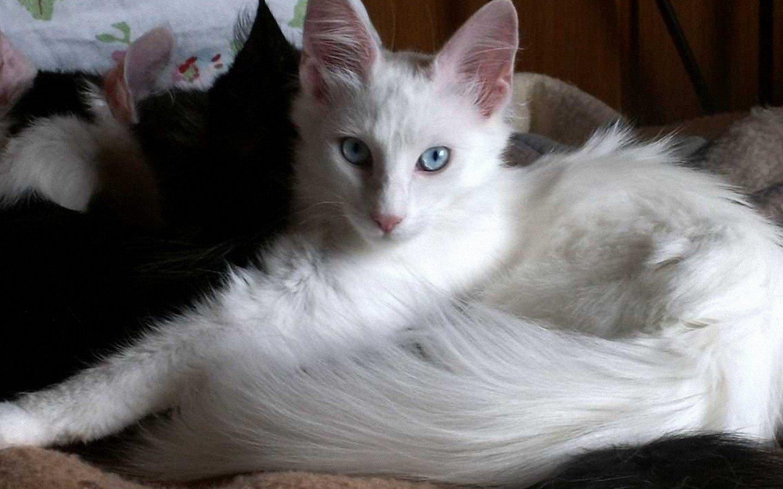 Higiene y cuidado de los gatos Angora Turco