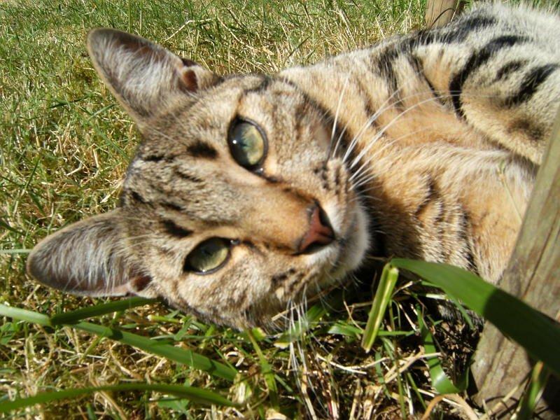 Baño Turco Frecuencia:Otitis externa en gatos MundoGatoscom