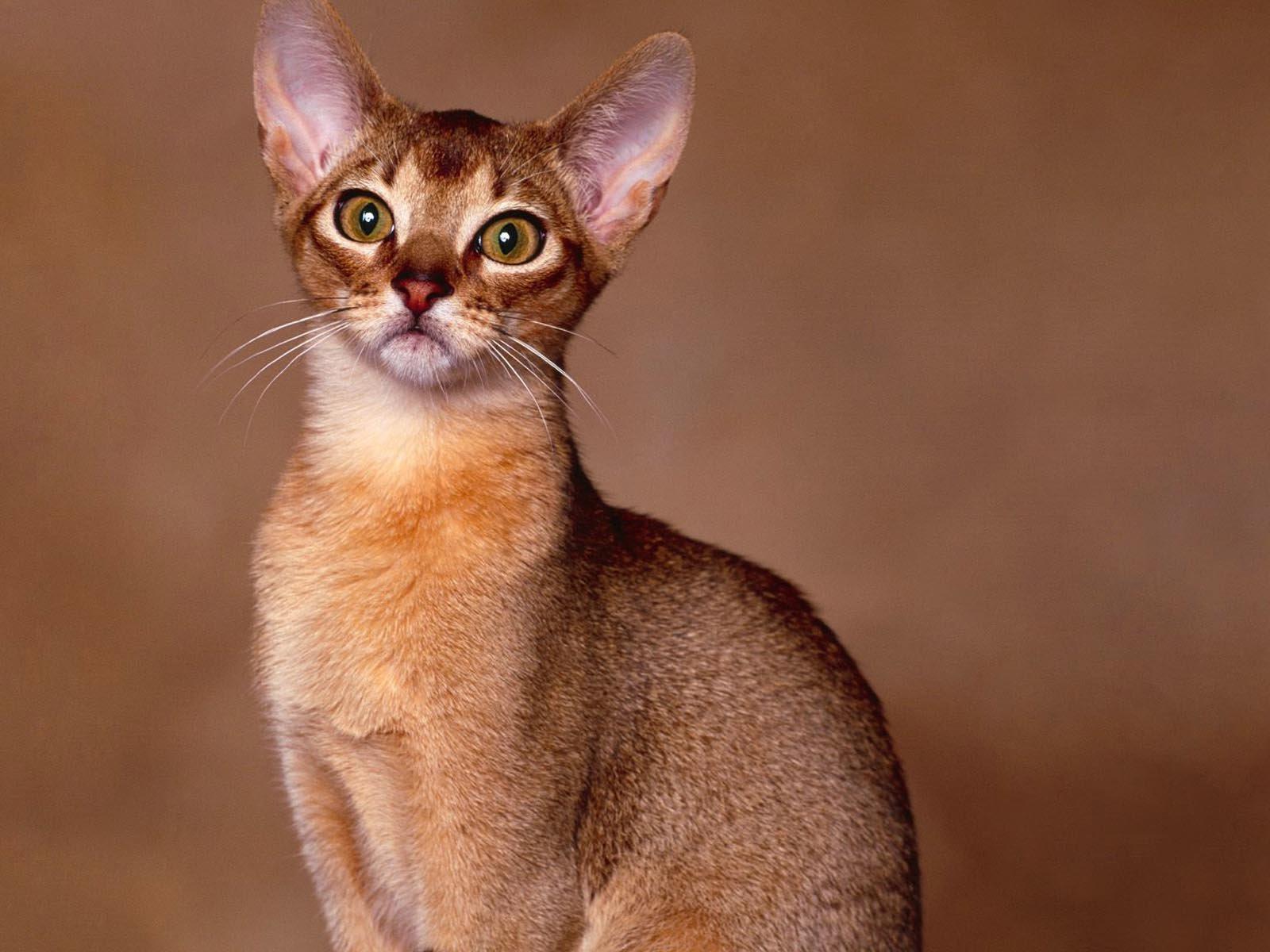 Gatos Abisinios. MundoGatos.com