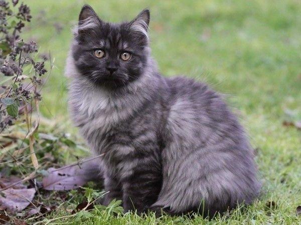 Gatos con pelo largo