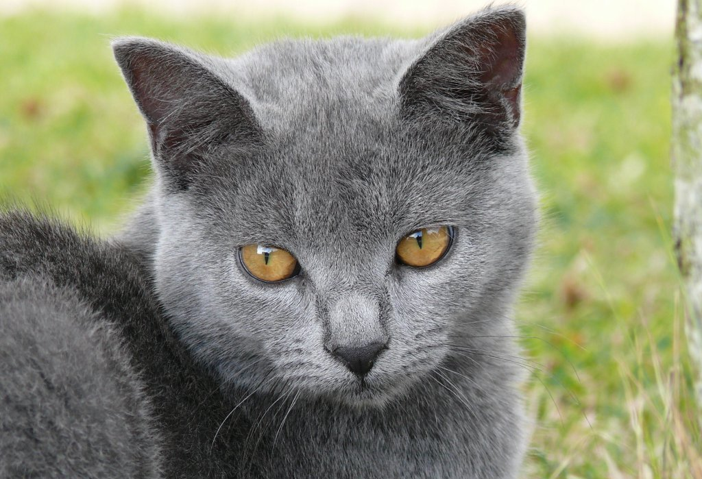 raza-gatos-chartreux.jpg
