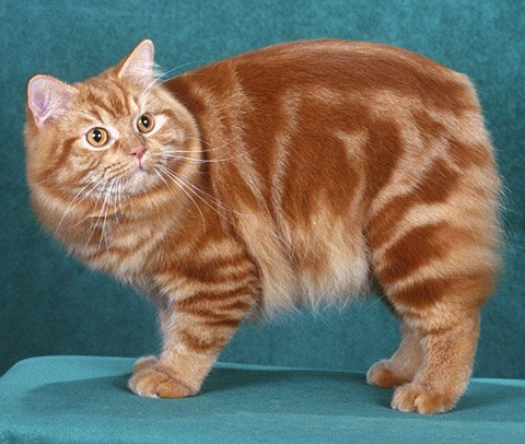 Gatos Cymric. MundoGatos.com