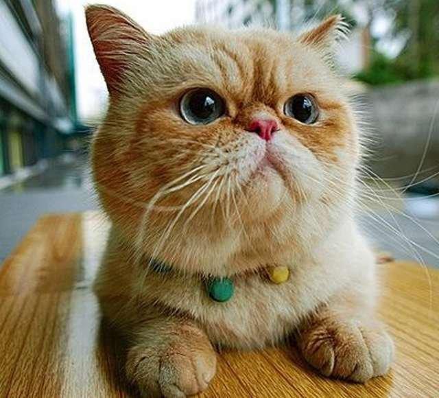 gatos exotico: