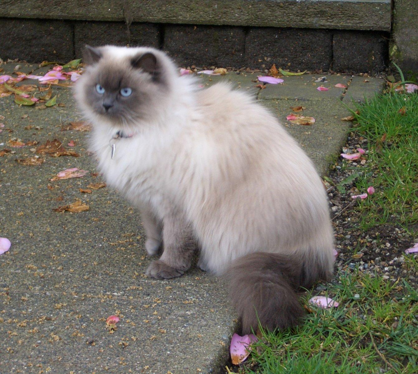 Razas De Gatos Mascotas Foyel Foyel Portal Con Todo