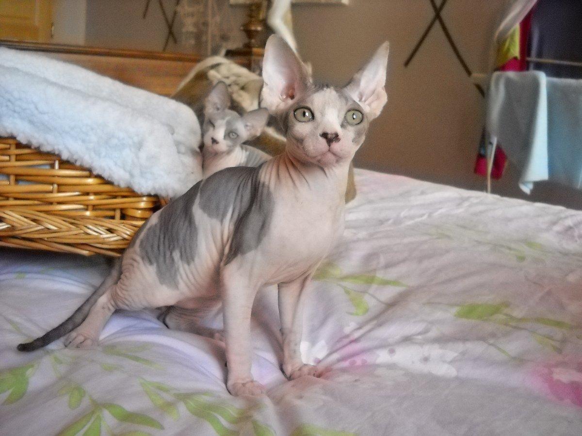 Resultado de imagen de gatos sphynx