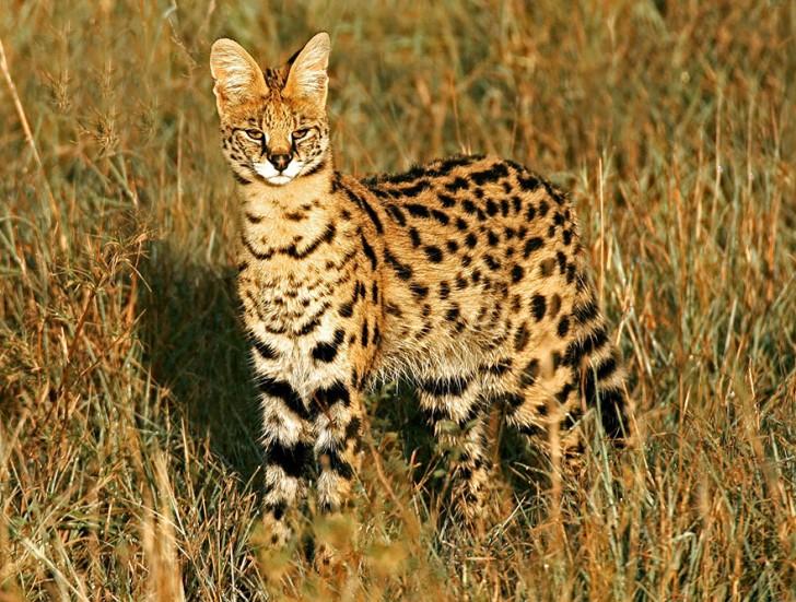 especies-de-gatos-que-no-conocias-1