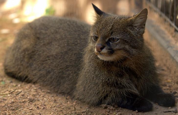 especies-de-gatos-que-no-conocias-10