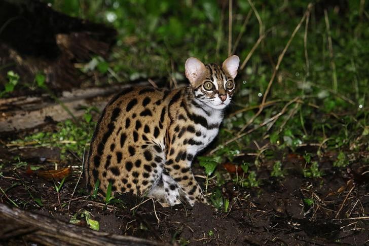 especies-de-gatos-que-no-conocias-12