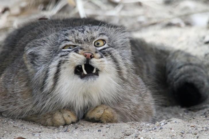 especies-de-gatos-que-no-conocias-2