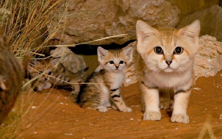 Especies de gatos que no conocías