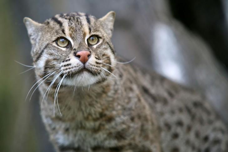 especies-de-gatos-que-no-conocias-5