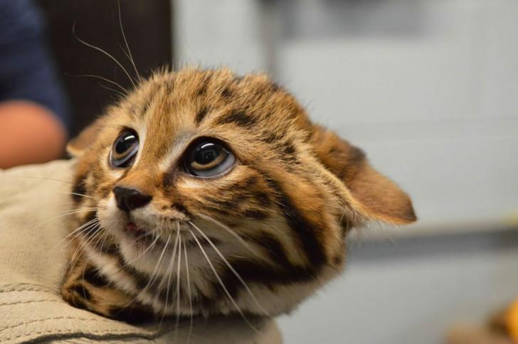 especies-de-gatos-que-no-conocias-6