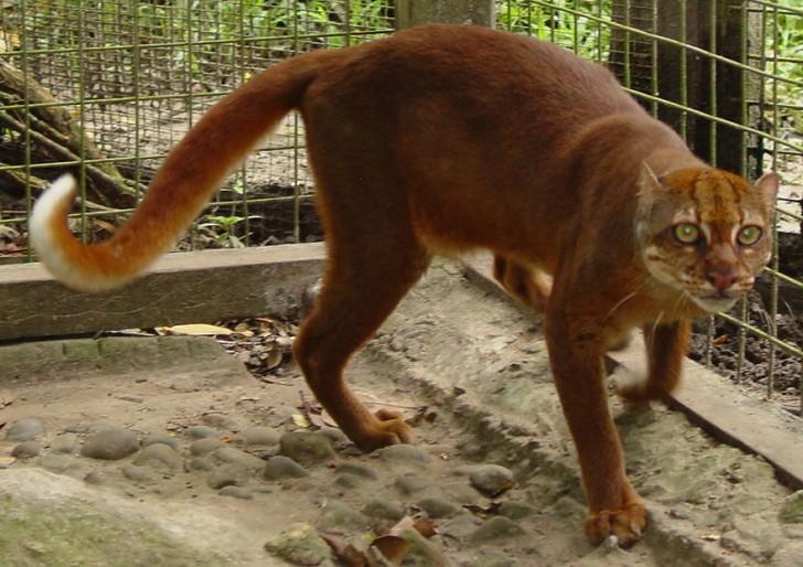 especies-de-gatos-que-no-conocias-7