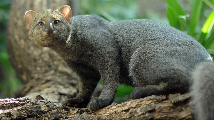 especies-de-gatos-que-no-conocias-9