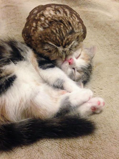 Gato y buho se hacen amigos inseparables (2)