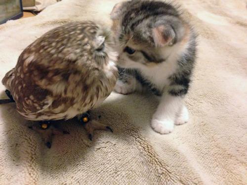 Gato y buho se hacen amigos inseparables (5)