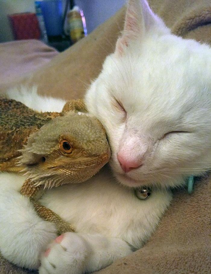 Gato y camaleon amigos inseparables (7)